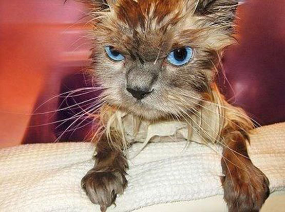 Angry_wet_cat